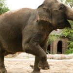 elephant_show_0