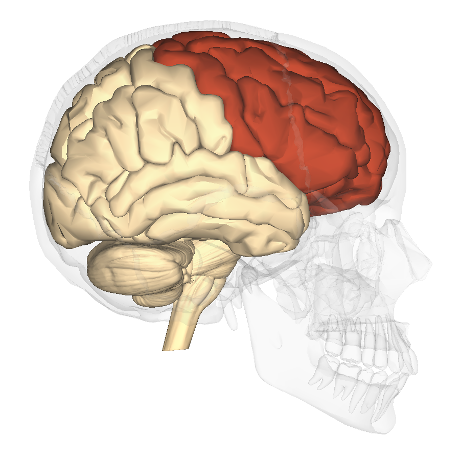 Frontal_lobe_-_lateral_view