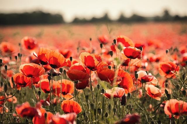 poppy-665815_640